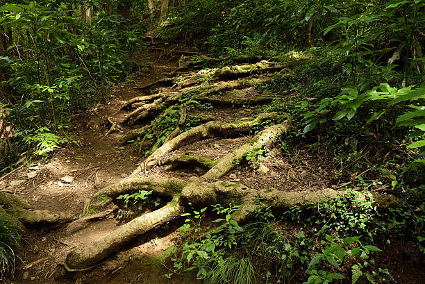 roots of trees on the mountain path. - baumgruppe stock-fotos und bilder