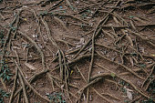roots of trees on the surface of the ground, texture