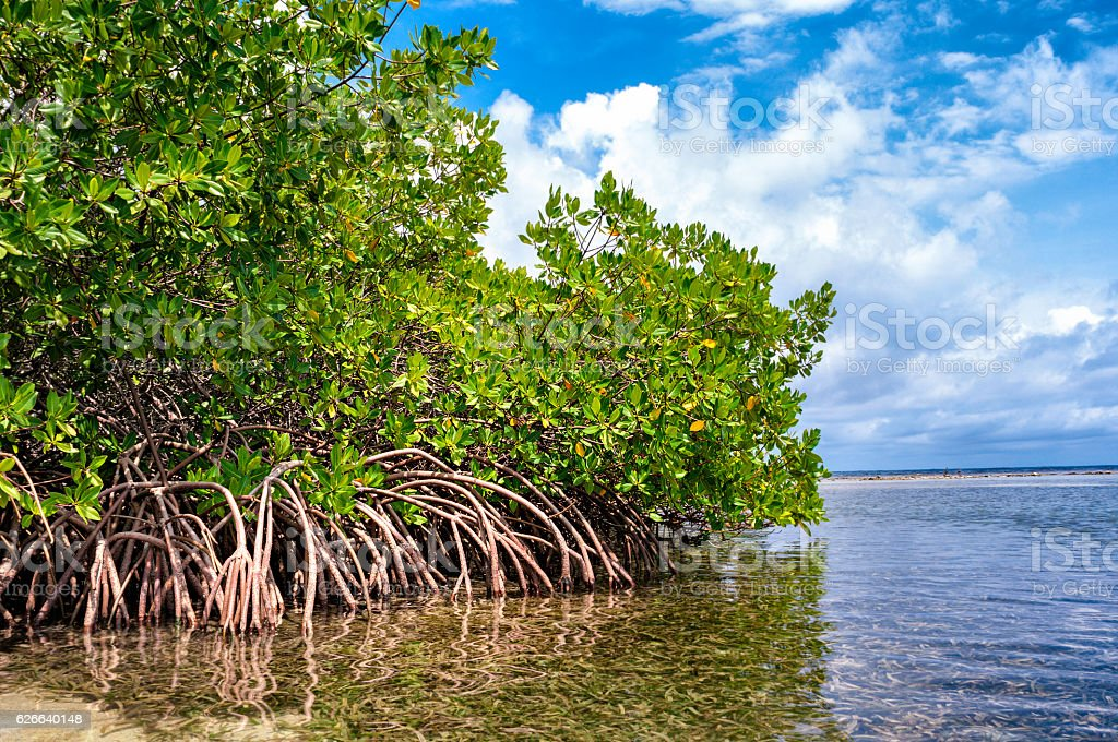 Roots of Tropical Mangroves stock photo