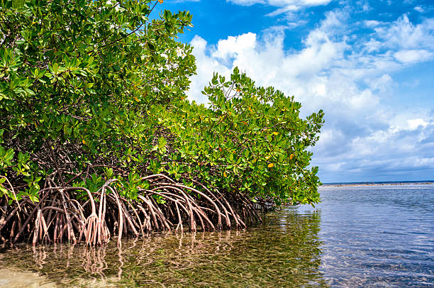 Best Mangrove Tree Stock Photos, Pictures & Royalty-Free ...  Best Mangrove T...