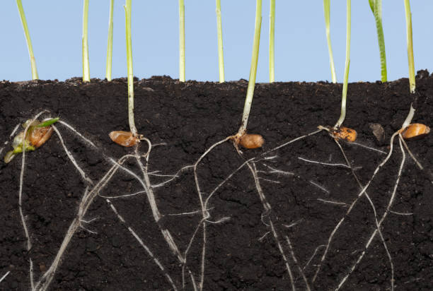 Roots of wheat germinated seeds stock photo