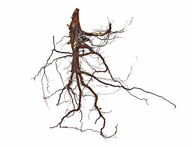 Roots on white Roots on white. Tentacles and branches of a root system. root stock pictures, royalty-free photos & images