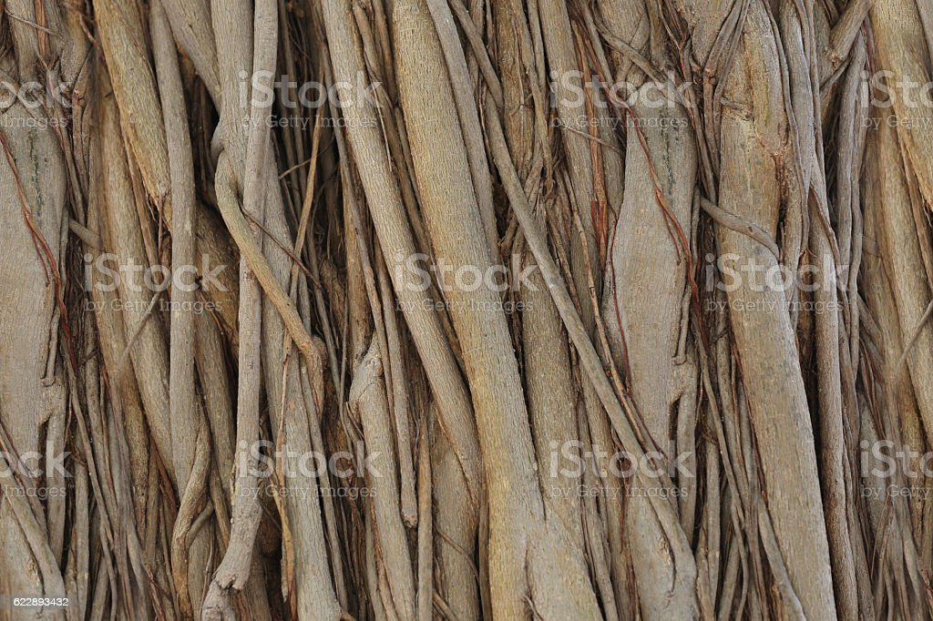 roots or trunk of the banyan tree in the garden. stock photo