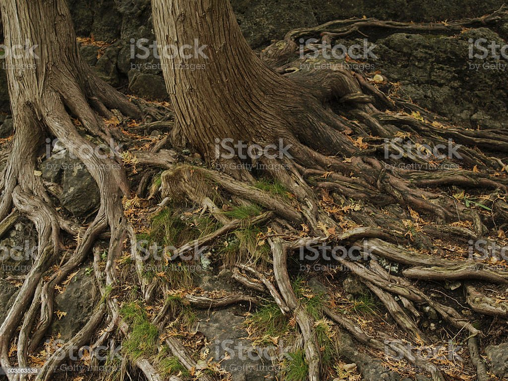 creepy roots of a tree in the woods.