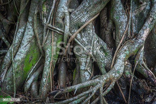Rainforest tree roots background in a wet environment.