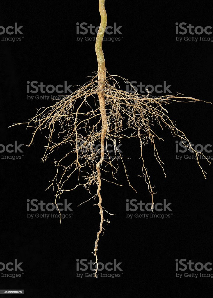 Roots tree stock photo