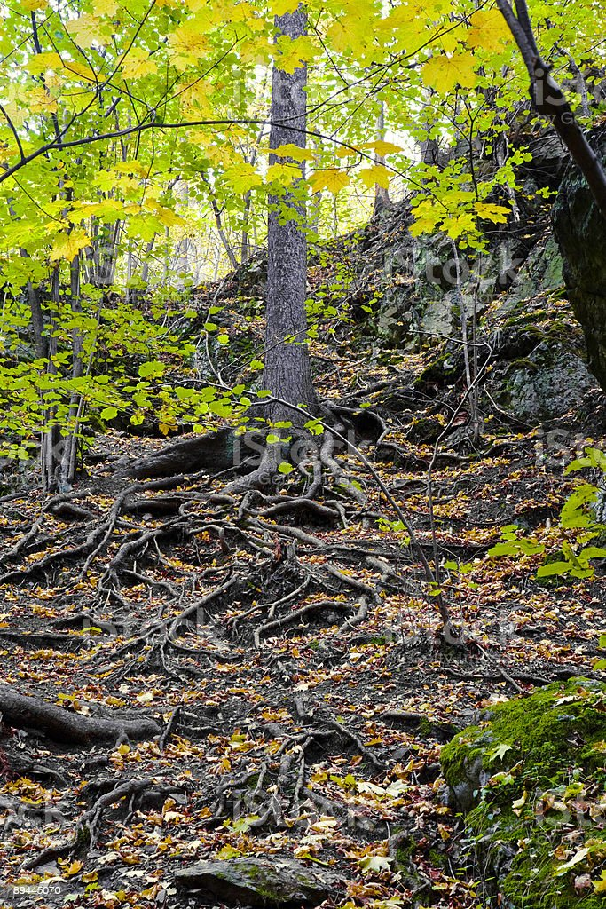 roots visible on the ground, Poland royalty-free stock photo