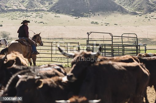 High quality stock photo of an tough cowboy lassoing and branding beef cattle in a pen.