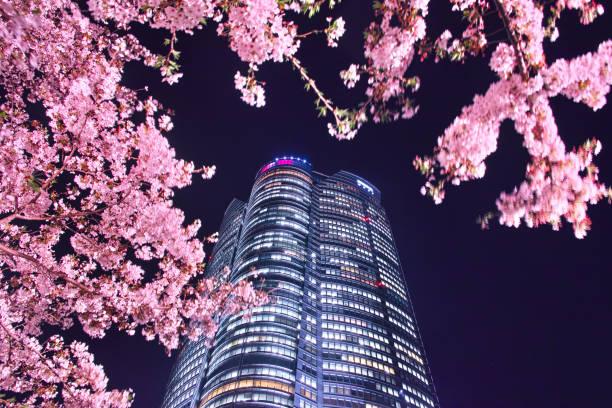 Roppongi's night cherry tree stock photo