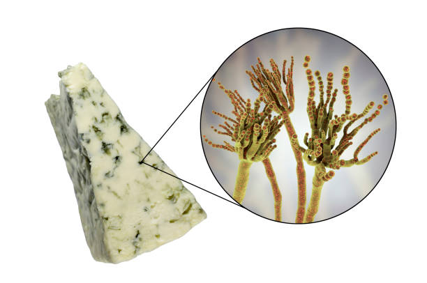 Roquefort cheese and fungi Penicillium roqueforti, used in its production stock photo