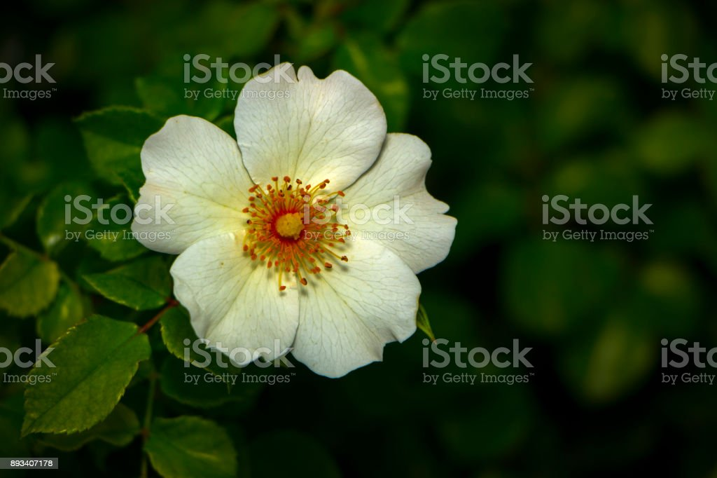 Rosa canina growing in nature Flower of dog-rose stock photo