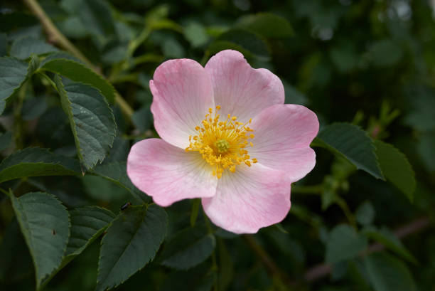 Rosa canina pink flowers of Rosa canina wild rose stock pictures, royalty-free photos & images