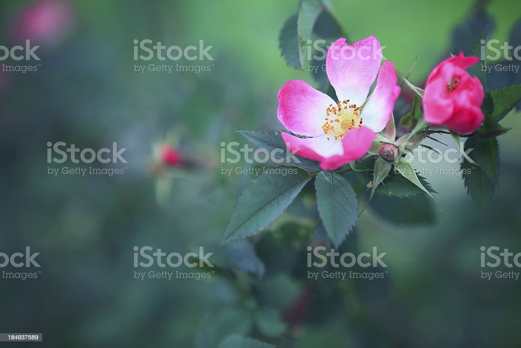 Rosa Canina royalty-free stock photo