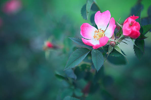 Rosa Canina Wild rose blossom. wild rose stock pictures, royalty-free photos & images