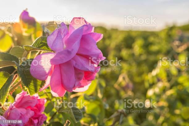 Rosa damascena flower known as damask rose pink oilbearing flowering picture id1178150186?b=1&k=6&m=1178150186&s=612x612&h=fl35kjasl64kaakzssyl7oa1 fmhlqmsijpqbingxgc=