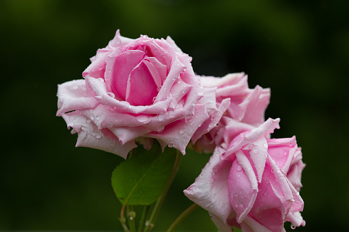 Rosa La France With Rain Drops Stock Photo - Download Image Now - iStock