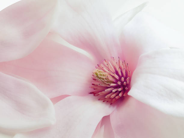 rosa magnolie - magnolia стоковые фото и изображения