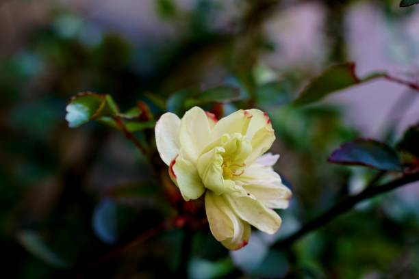 Rosa multiflora – Foto
