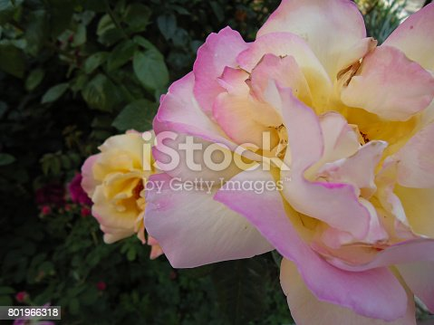 istock Rosa «Peace» closeup on dark green, rose foliage background in a shadowy garden. Bicolor rose. It has creamy (ivory) petals with light yellow center & slightly flushed gentle pink edges. 801966318