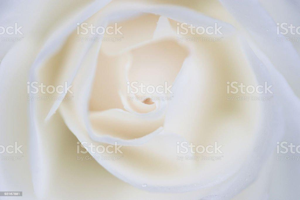 Rosa royalty-free stock photo