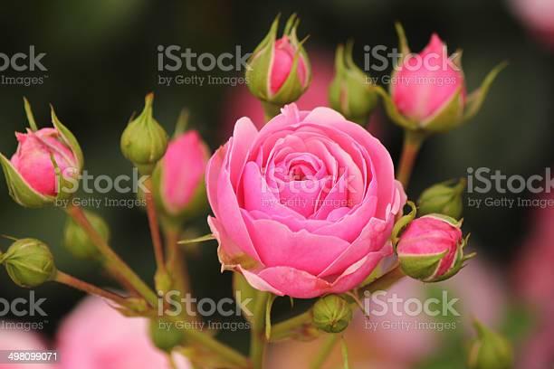 Rosa pomponella dunkel rose picture id498099071?b=1&k=6&m=498099071&s=612x612&h=3rjijtwuzoivusp9x2vifv6 j8lai3 joofilbauvl0=