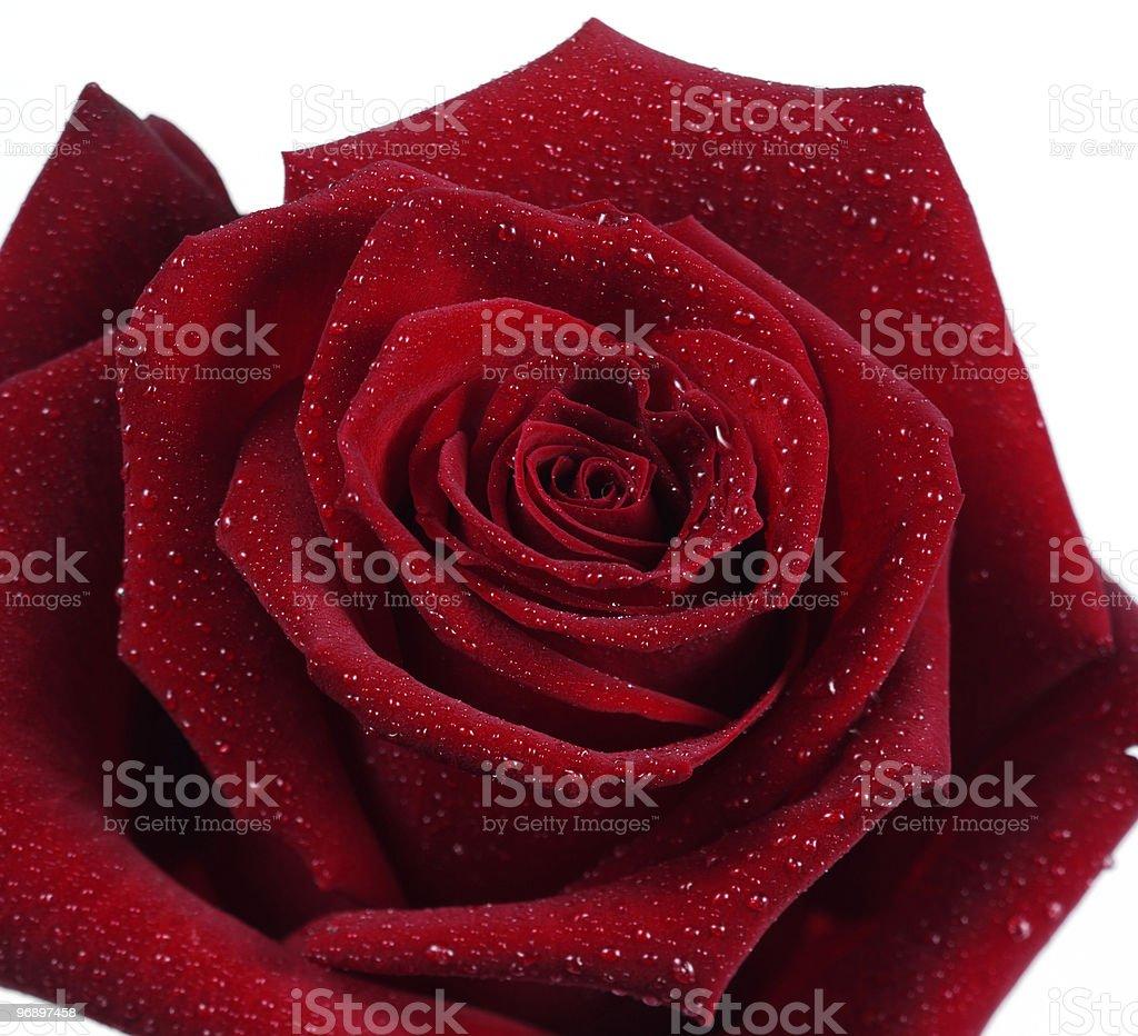 rosa rossa con rugiada royalty-free stock photo