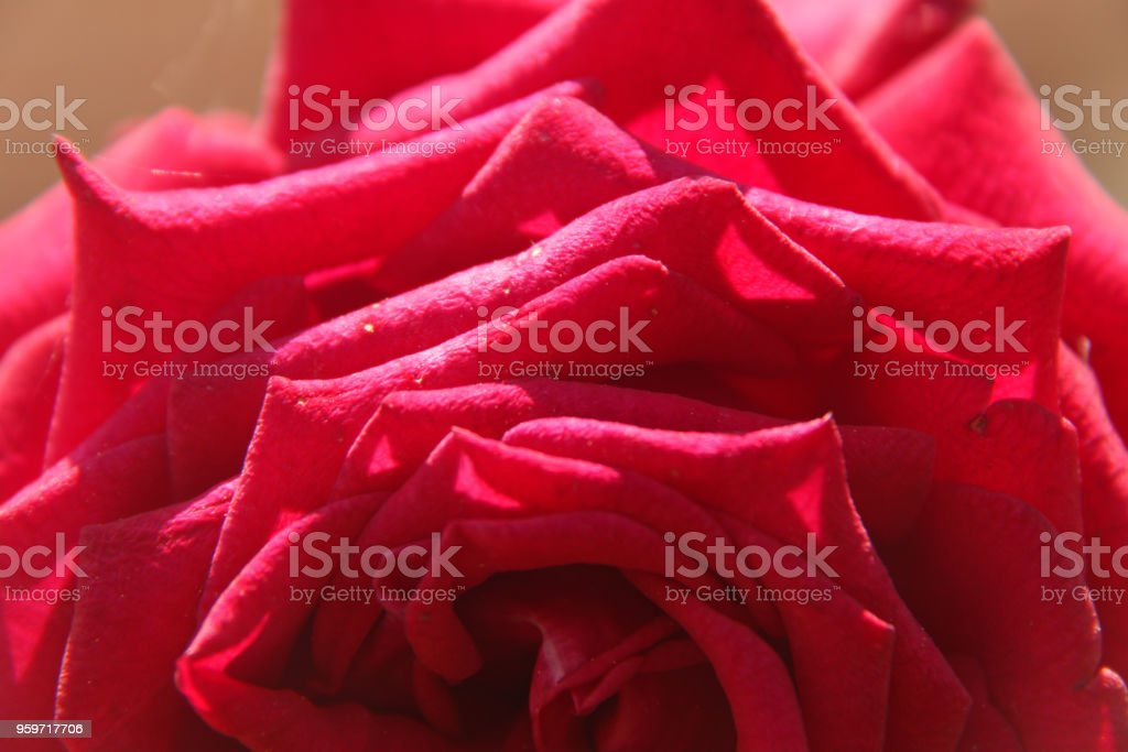 Rosa rossa - foto stock