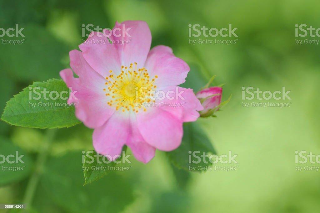 Rosa Rugosa or Deep pink rose stock photo