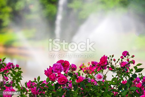 Rosarium, rose garden. Blooming pink roses in the summer garden, fountain in the background
