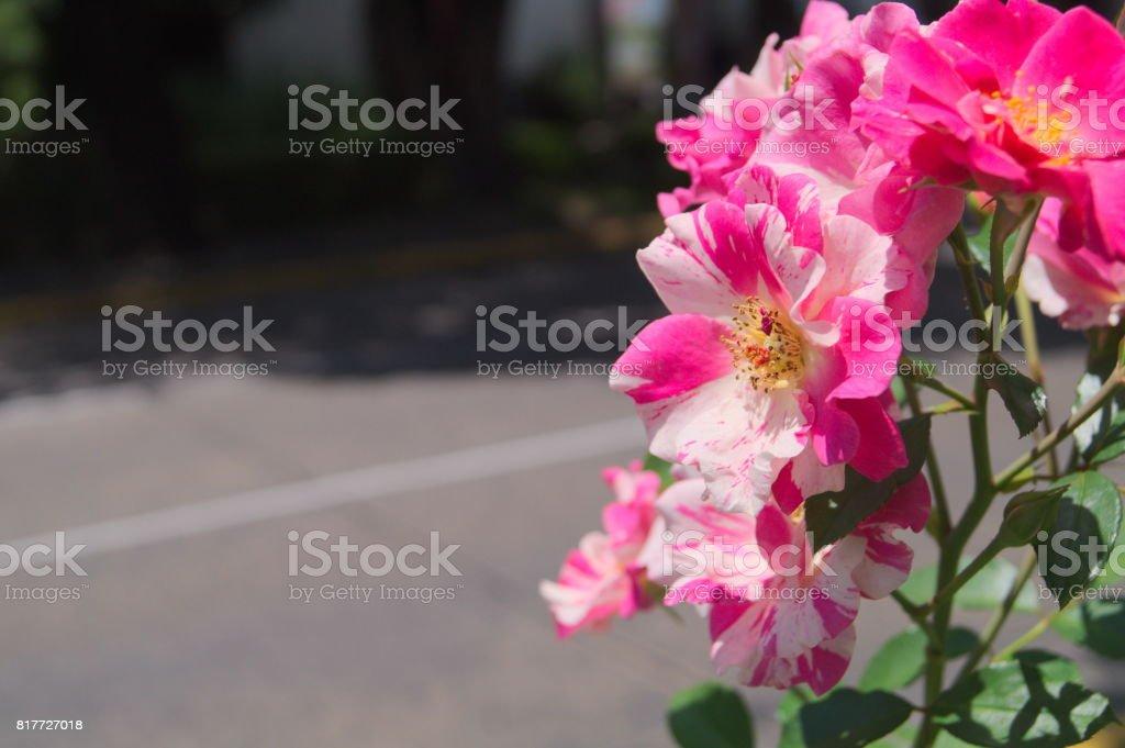 rosas? no lo se stock photo