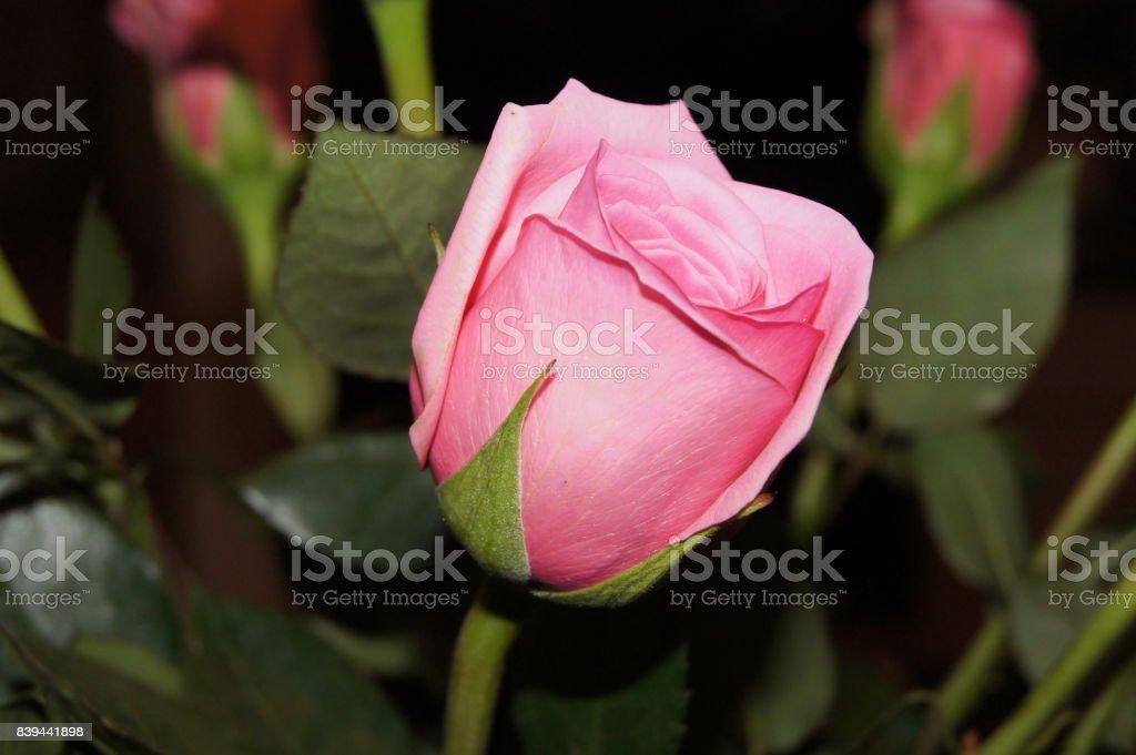 Rose 2 stock photo