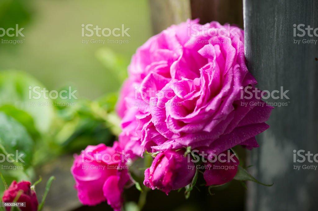 rose a longs pedoncules foto de stock royalty-free