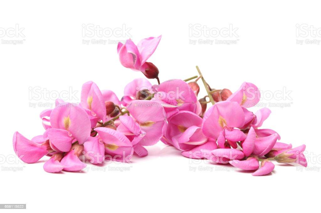 Rose acacia isolated on white background stock photo
