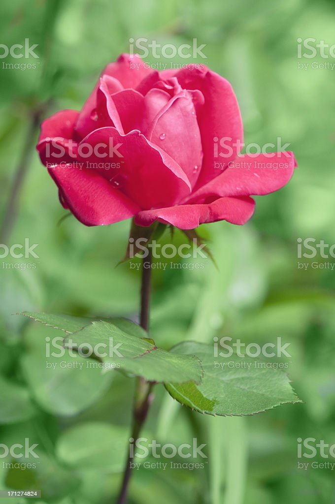 Rose after rain with water droplets royalty-free stock photo