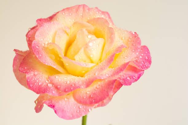 rose na de regen met witte achtergrondkleur - caernarfon and merionethshire stockfoto's en -beelden