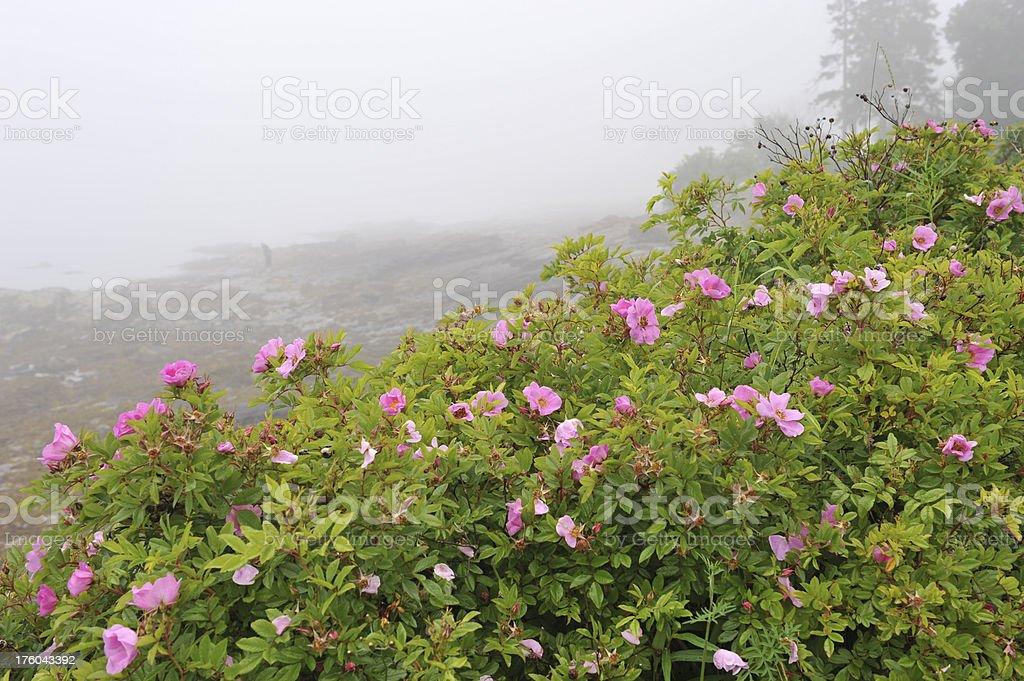 Rose and Beach stock photo