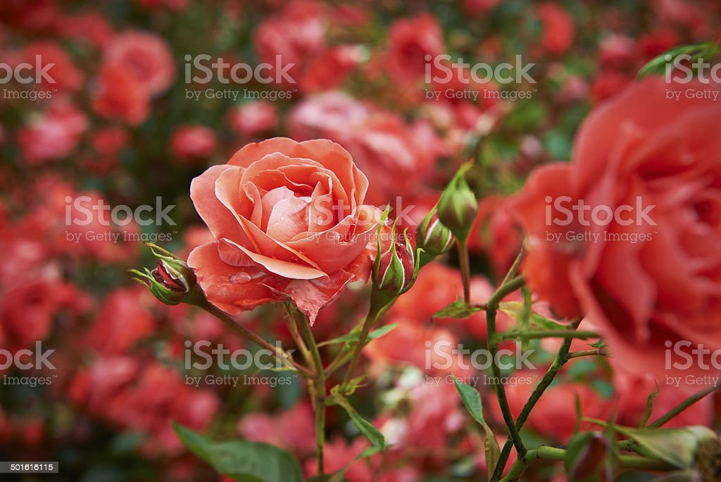 Rose and rose buds stock photo
