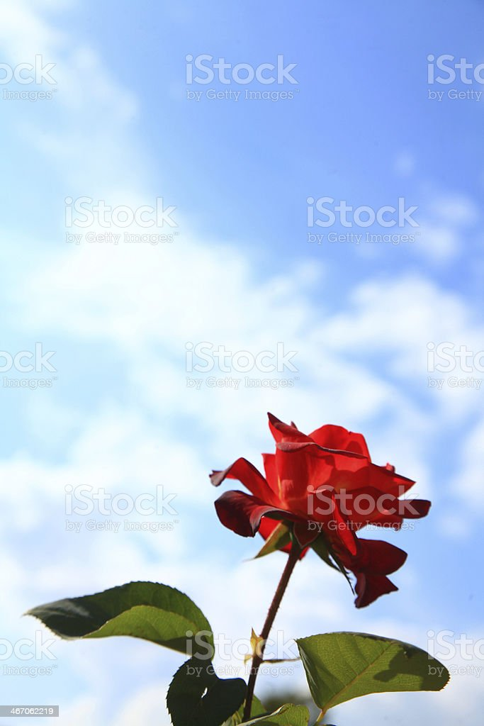 Rose and Sky stock photo