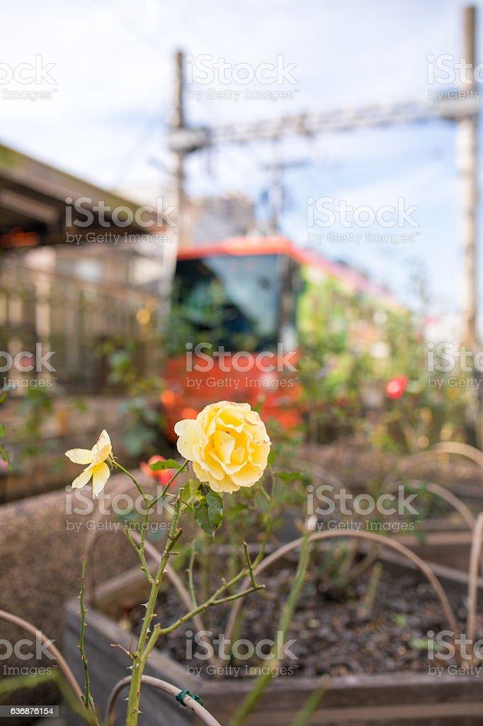 Rose and train - foto de stock