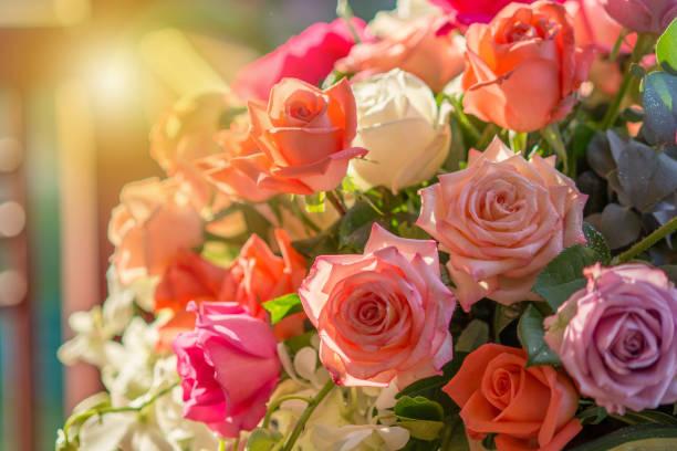rose und warmes licht im garten - rose stock-fotos und bilder