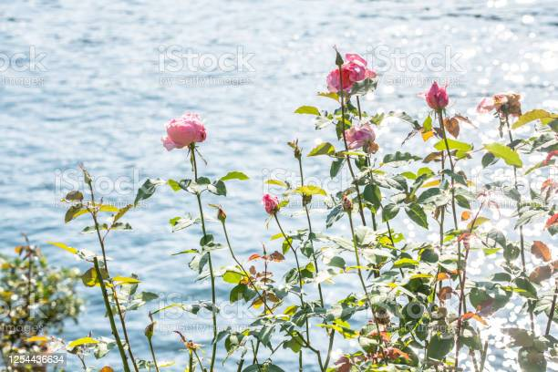 Photo of Rose and water in the background