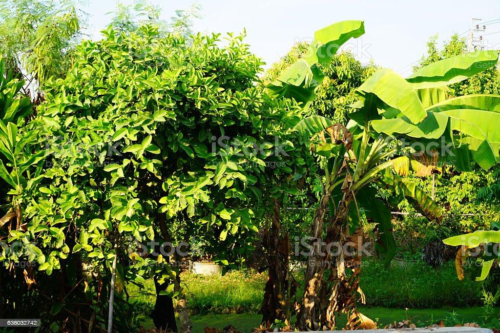 rose apple and Banana Tree stock photo