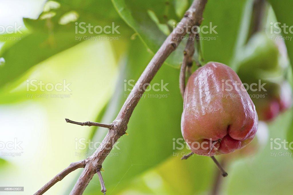 rose apple, Malabar plum on the tree stock photo