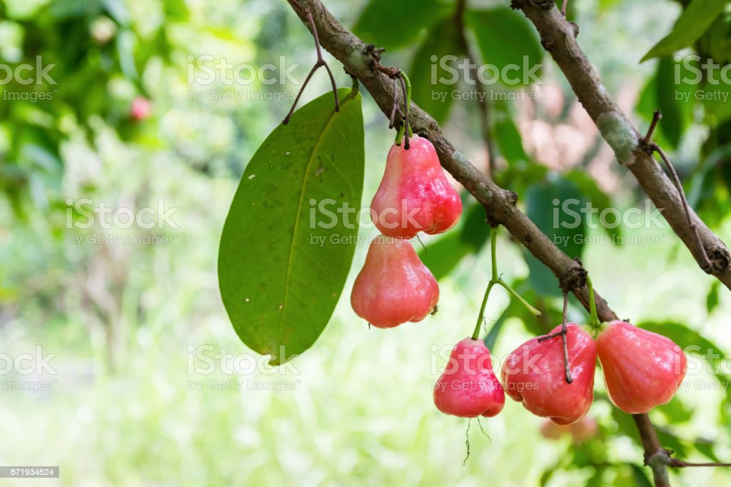 rose apple on the tree in the garden,thailand stock photo