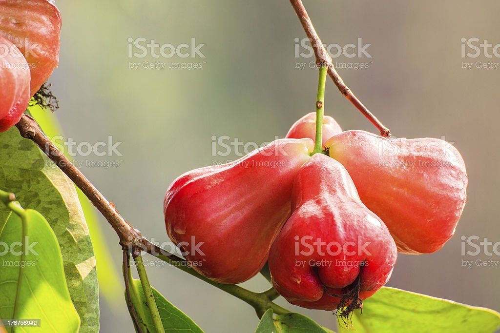 Rose apples hanging on a tree stock photo