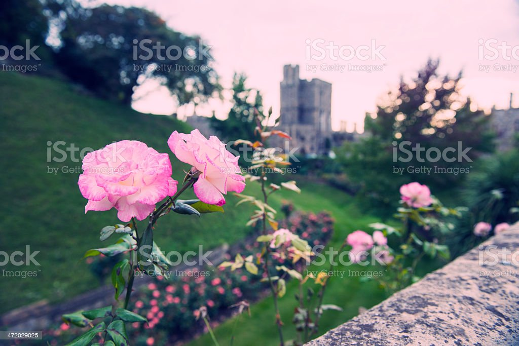Rose at Dusk in Formal English Garden royalty-free stock photo