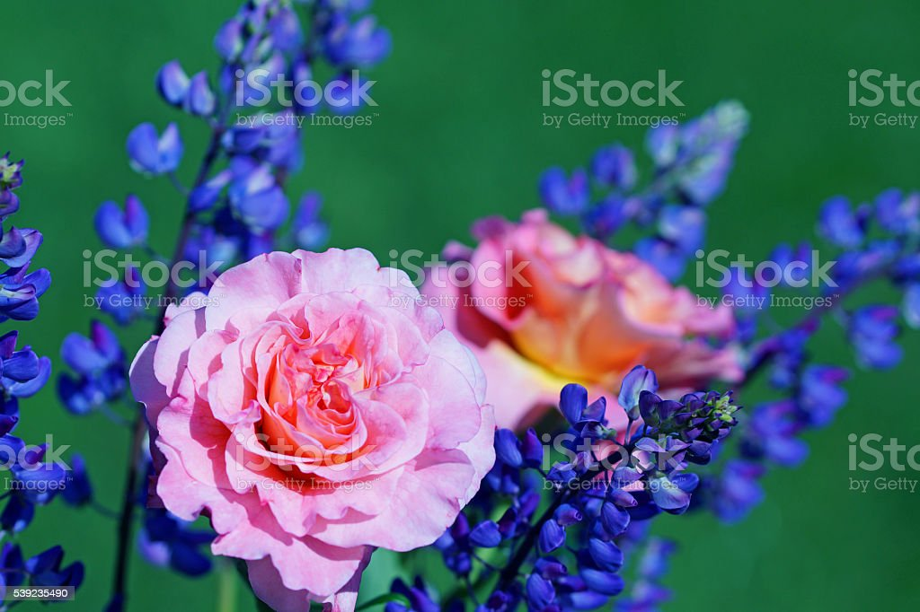 Rose Augusta Luise'e'lupins foto royalty-free