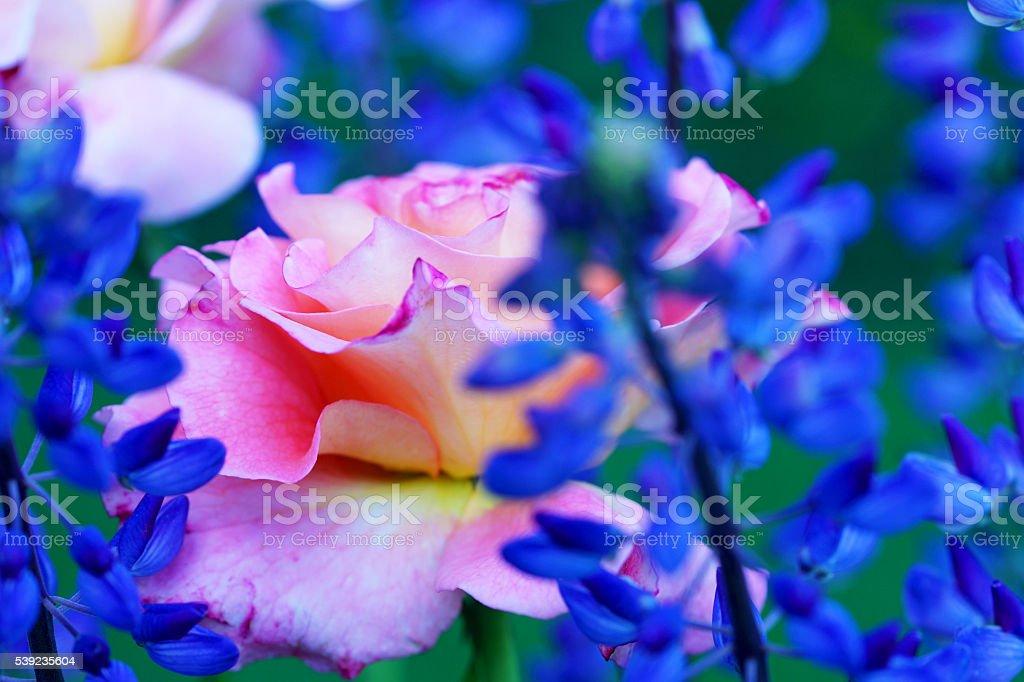Rosa ' Augusta Luise'y lupins foto de stock libre de derechos