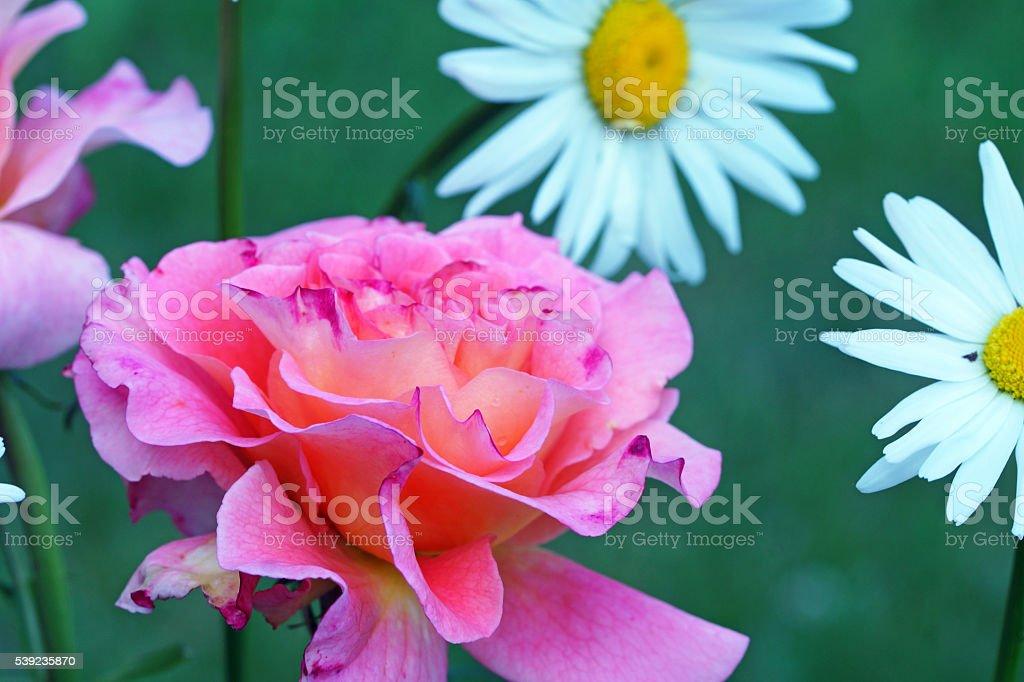 Rosa ' Augusta Luise'y marguerites foto de stock libre de derechos