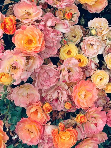 Rose background picture id1156297953?b=1&k=6&m=1156297953&s=612x612&w=0&h=zjogwsqujlljwfkfn4ozxol6xzgkvwpqojsbafonwh8=